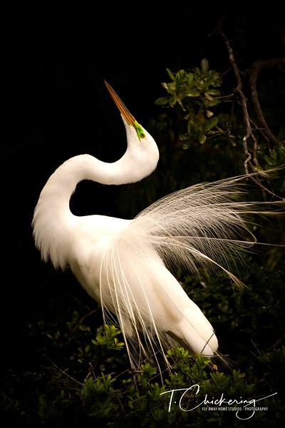 Great Egret Breeding Display 2-1505771729112.jpg
