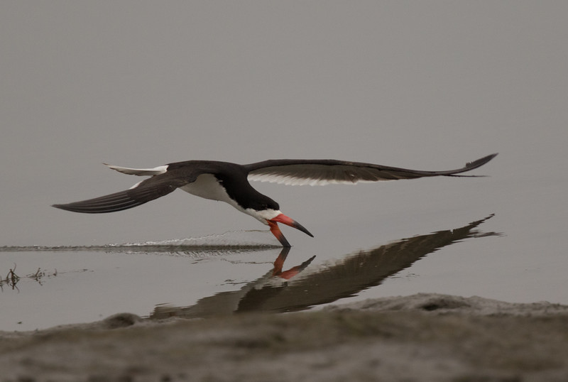 Black Skimmer Imperial Beach 2018 07 16-6.CR2