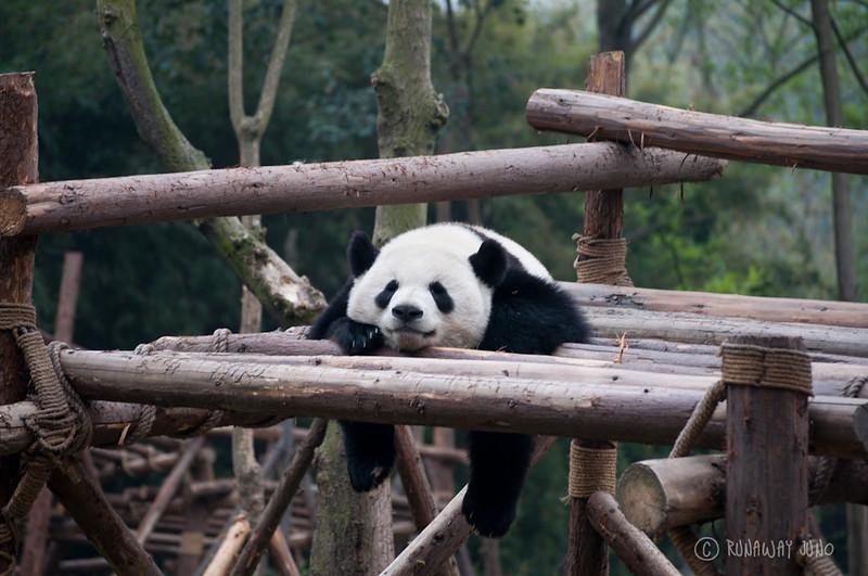 Giant_Panda_sleeping_Chengdu_Sichuan_China2.jpg