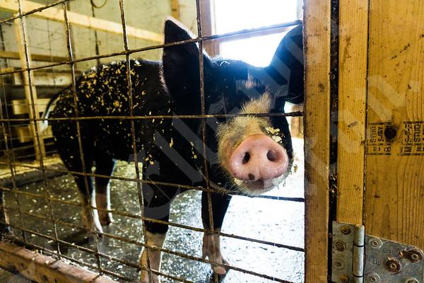 Herrick family's pigs