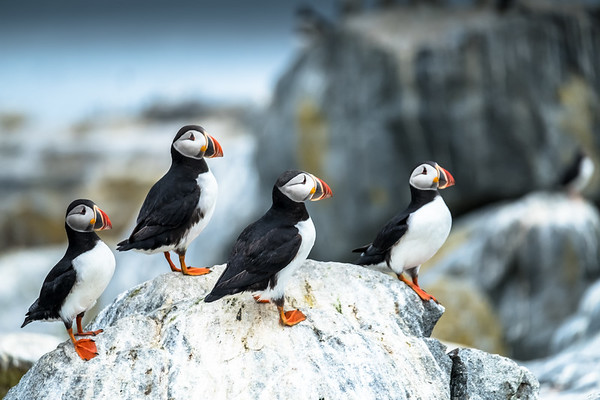 WHAT I LEARNED FROM THE PUFFINS