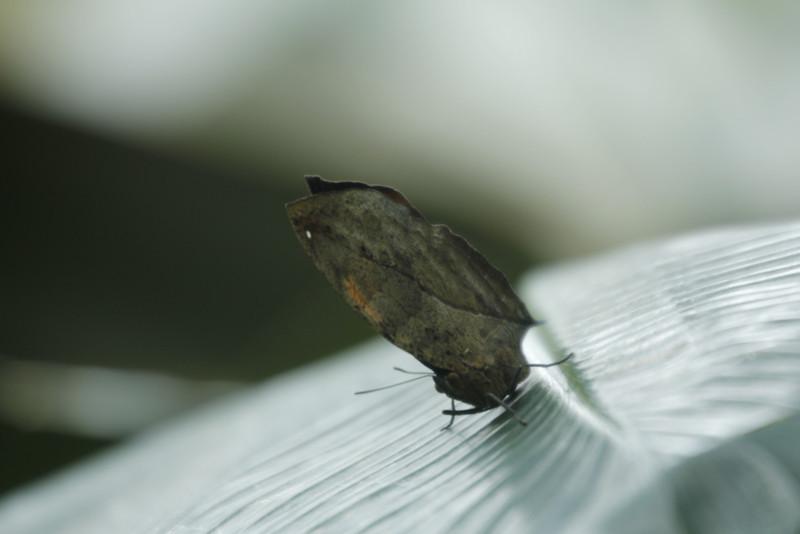 dead-leaf butterfly