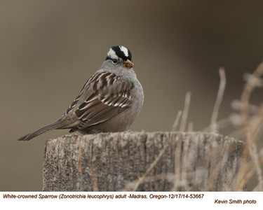 White-crowned Sparrow A53667.jpg