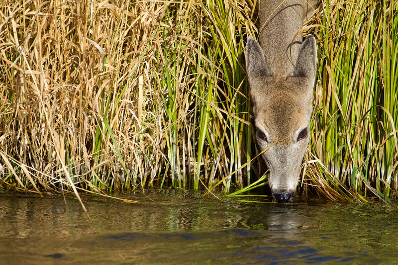 Whitetails in the Wild - 8.jpg