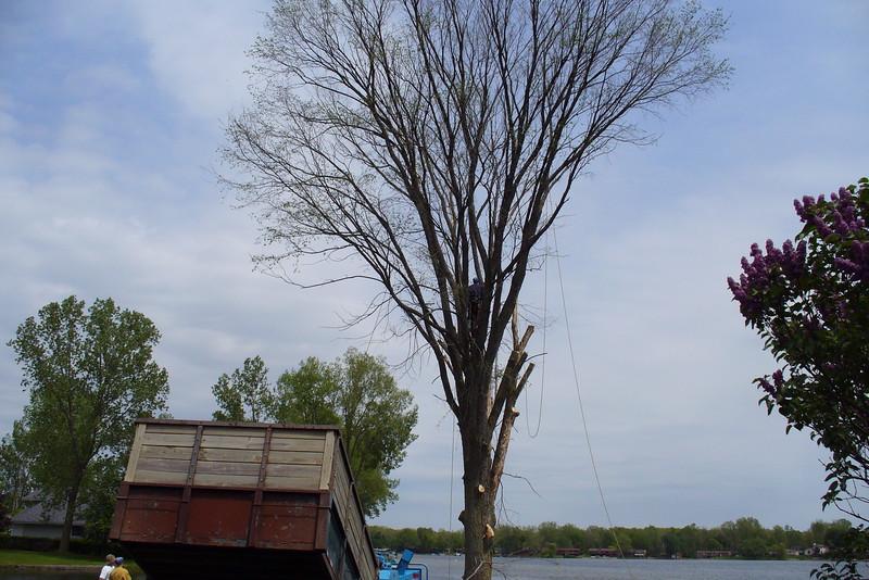Holly tree 2009.jpg
