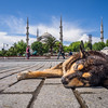 Sleepy Pooch and Blue Mosque, Istanbul, Turkey