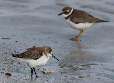 Karikukko ja Sirrit (Turnstones and Sandpipers of genus Calidris)