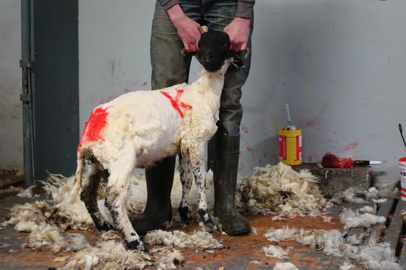 Rownadale Farm Sheepdog Demonstration