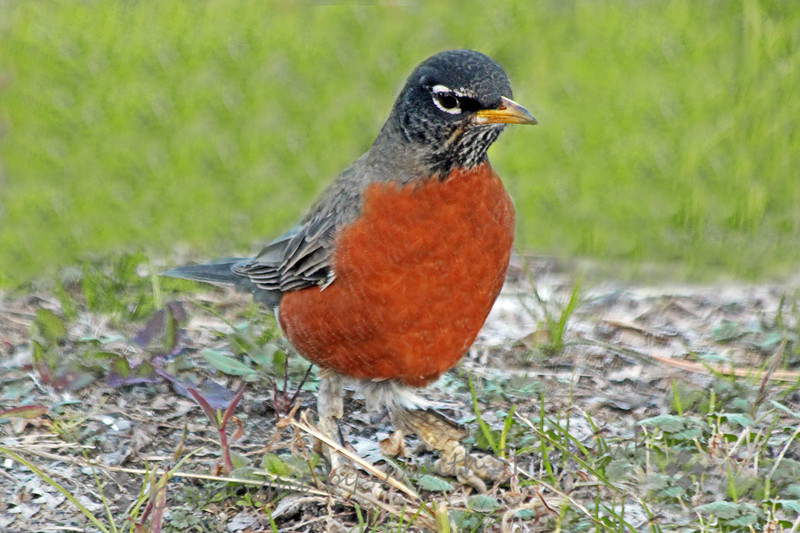 American Robin ~ This robin was photographed in the local park in Redlands, California,  They are winter visitors in the area.
