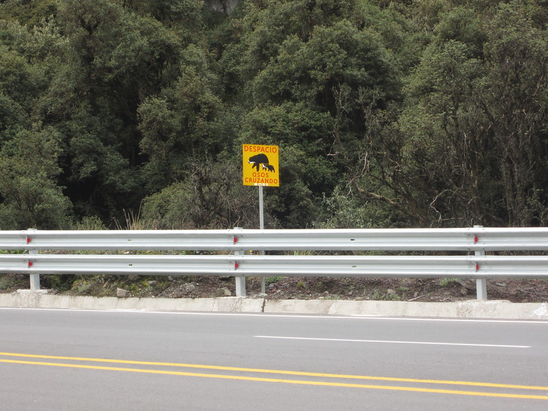 Spectacled bear crossing.