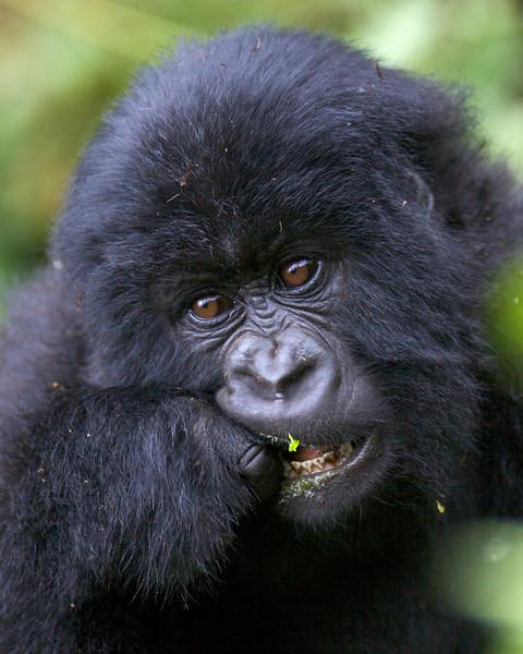 Gorillas  8437.jpg