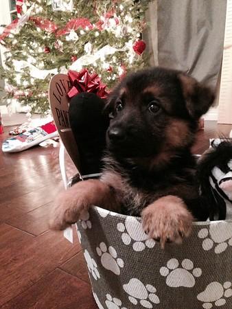 Sysco von Orumhaus #5 Pups born Nov. 2014