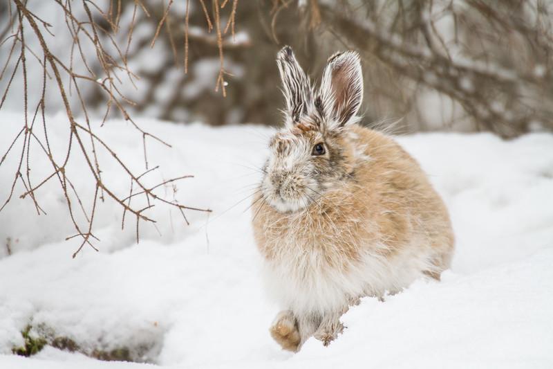 Snowshoe Hare Warren Nelson Memorial Bog Sax-Zim Bog MN IMG_0811.jpg