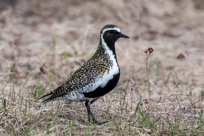 European Golden Plover - Lake Mývatn, Iceland