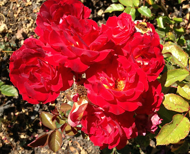 2014-07-04 Berkeley Rose Garden