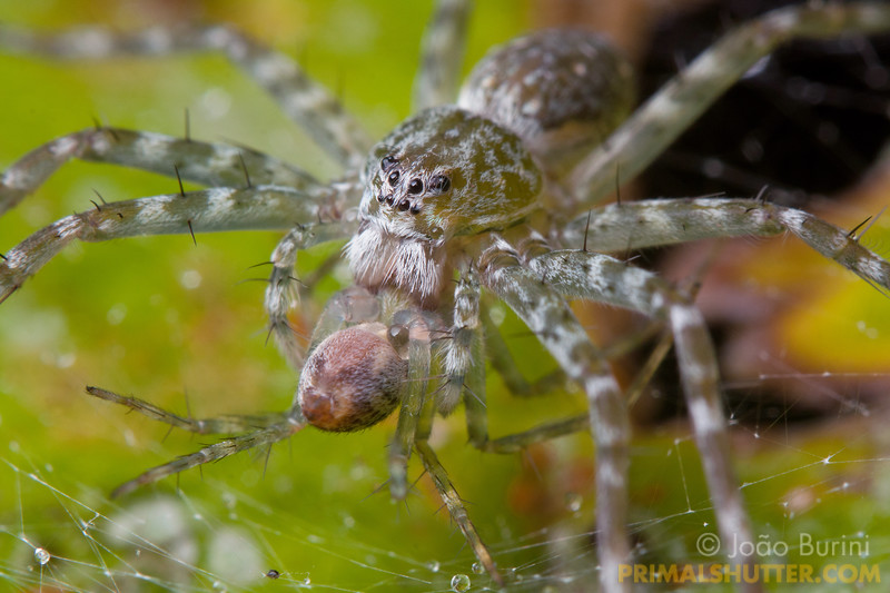 Nursery web spider preying on a smaller spider