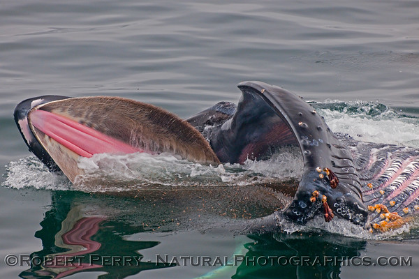 Humpback Whales - SURFACE FEEDING