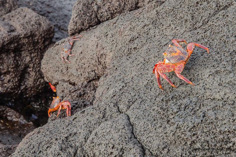 Sally Lightfoot Crab - Punta Espinosa, Isla Fernandina, Galapagos, Ecuador