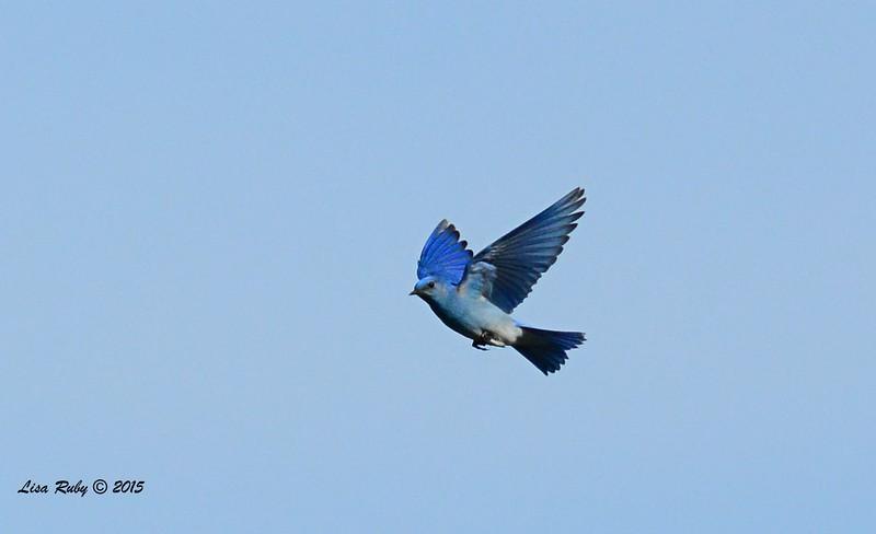 Male Mountain Bluebird - 1/19/2015 - Rangeland Road