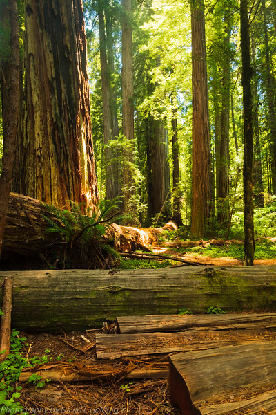 Jedediah Smith Redwoods State Park (CA) Collection