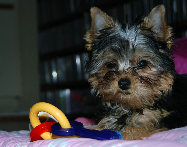 026 Yorkshire Terrier at 15 weeks.jpg