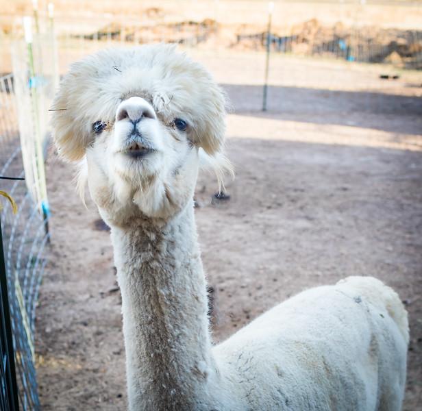 wlc Corinna Porter Alpacas10November 19, 2016-2-Edit.jpg