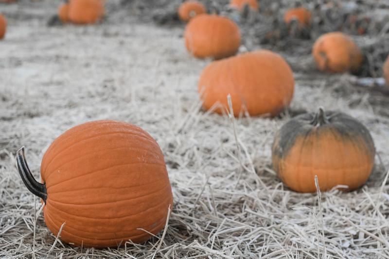 Pumpkin patch after early season frost
