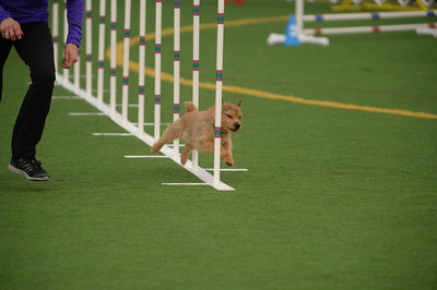 York Dog Training Club AKC Agility Trial March 18-20