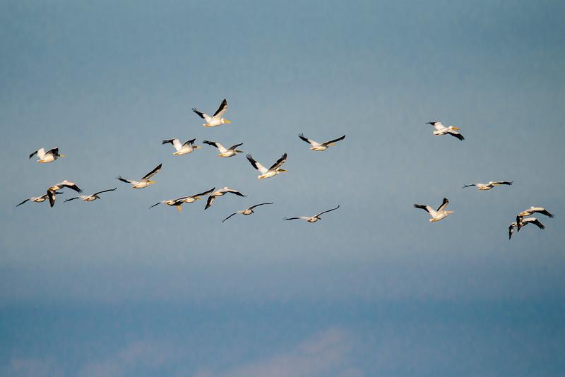 Pelican - American White -  St. George Island, FL