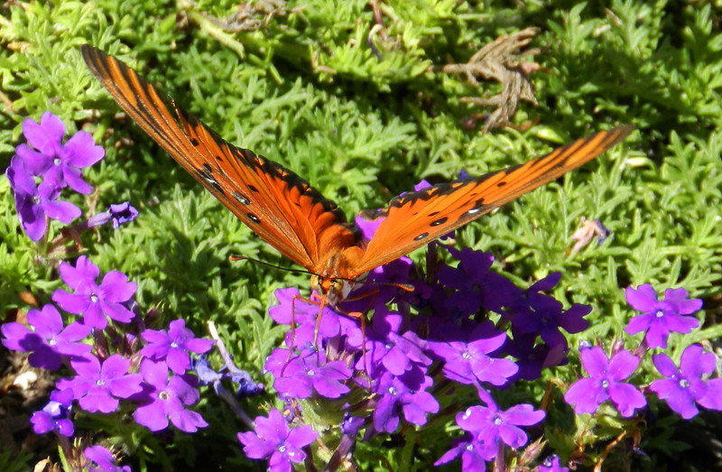 Gulf Fritillary on verbena eagle.jpg