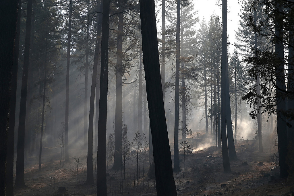 . GROVELAND, CA - AUGUST 22:  Sunlight filters through smoke in a grove of trees burned by the Rim Fire on August 22, 2013 in Groveland, California. The Rim Fire continues to burn out of control and threatens 2,500 homes outside of Yosemite National Park. Over 1,000 firefighters are battling the blaze that was reduced to only 2 percent containment after it nearly tripled in size overnight.  (Photo by Justin Sullivan/Getty Images)