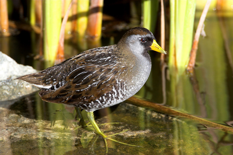 Sora Upper Newport Bay February 18, 2006