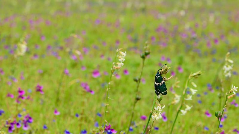 Day-moth-Kaas-Satara.jpg
