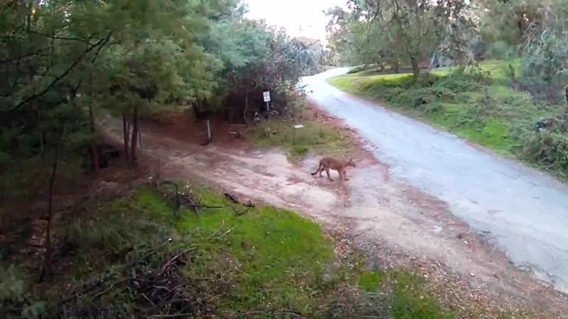 Driveway puma-lion- 20171222_0759__1513958347055.mp4