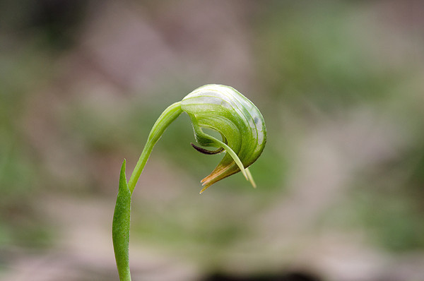 Nodding Greenhood - Pterostylis nutans