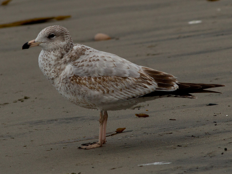 Ring-billed Gull  Encinitas 2012 01 16 (1 of 2)-2.CR2