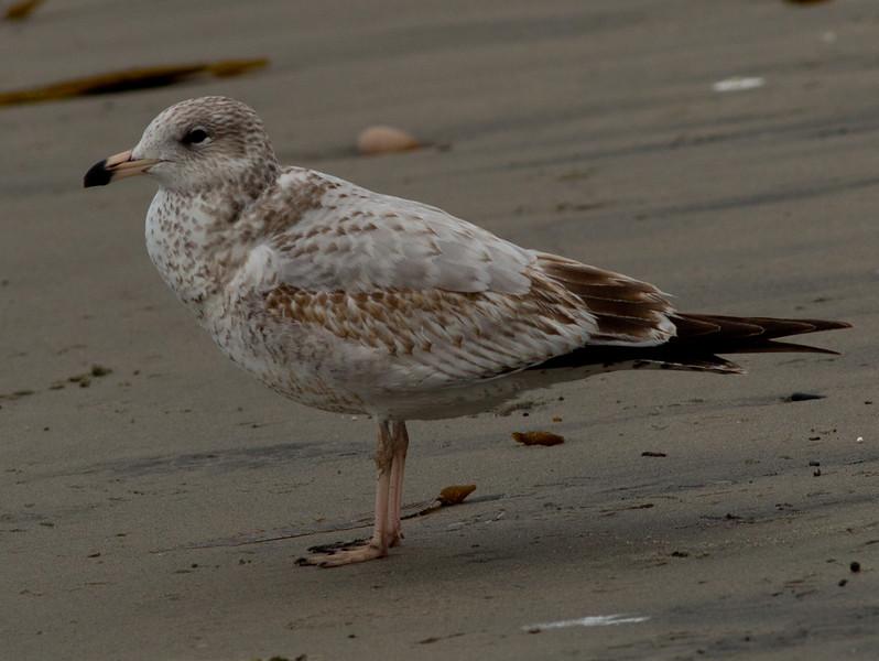 Ring-billed Gull  Encinitas 2012 01 16 (1 of 2)-2.CR2