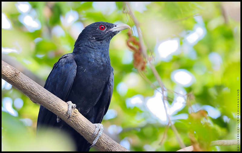 Asian Koel [male].....