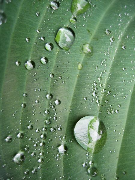 Hosta Rain Drops.jpg