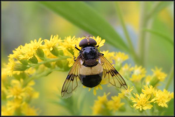 Ivoorzweefvlieg/Large Pied-hoverfly