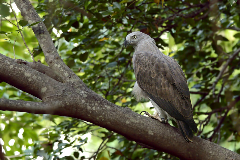 Lesser-Fishing-Eagle copy.jpg