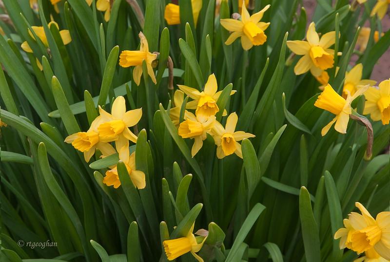 April 16_Mini Daffodils_0021.jpg