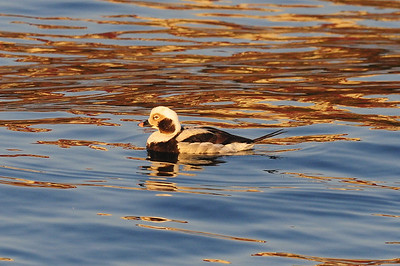 Long-tailed Duck or Oldsquaw