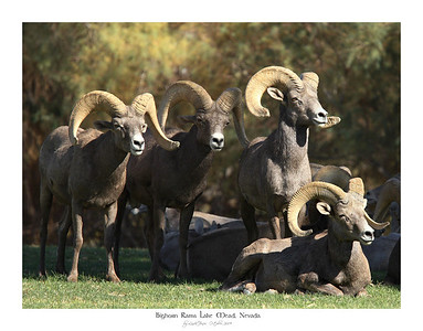 Bighorn Rams and Zion Canyon