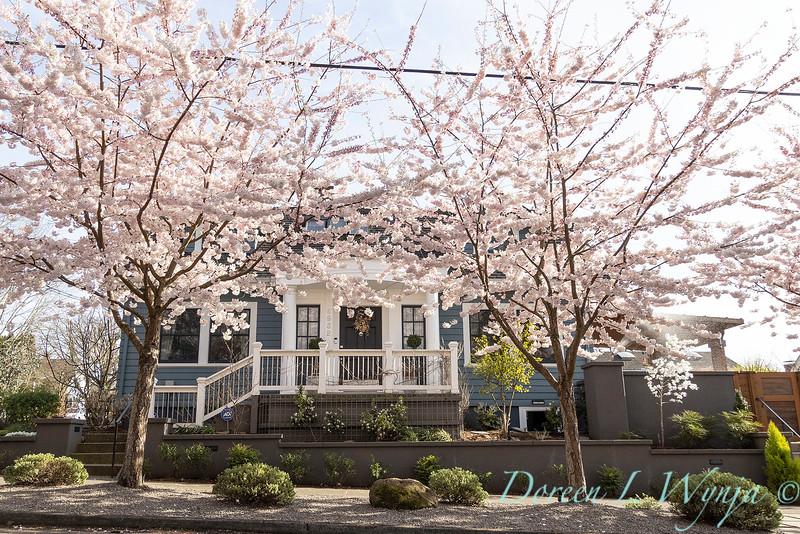 Prunus x yedoensis flowering cherry_6195.jpg