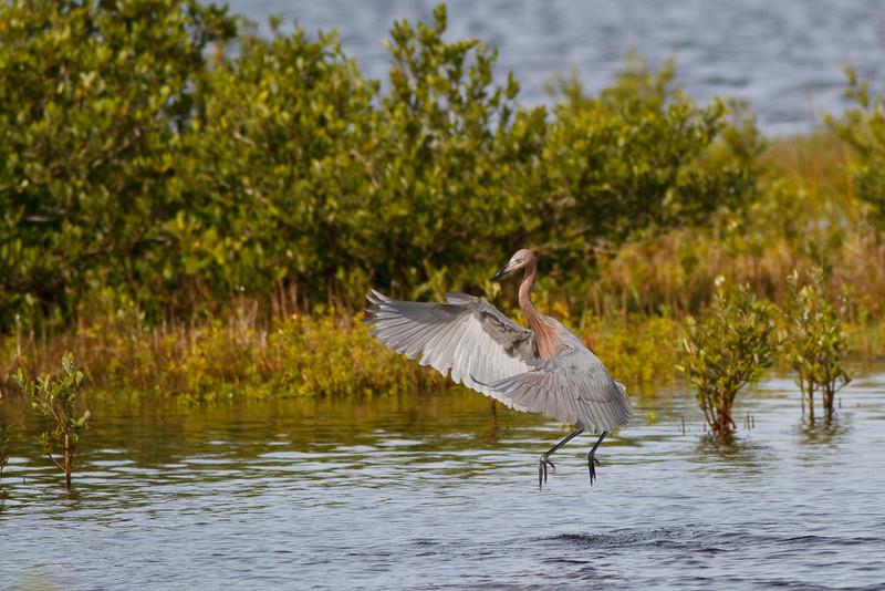 Reddish Egret fishing at Merritt Island NWR