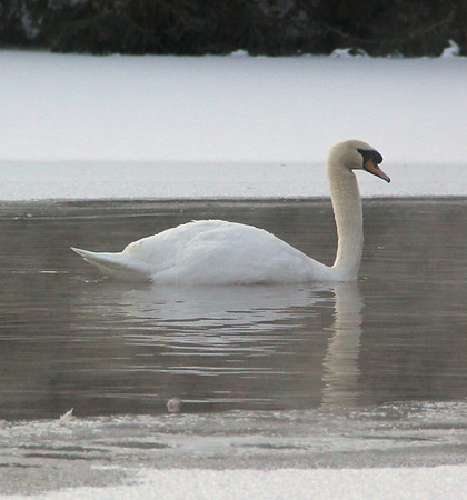Swan On a Cold Lake, Rush Township (1-24-2013)