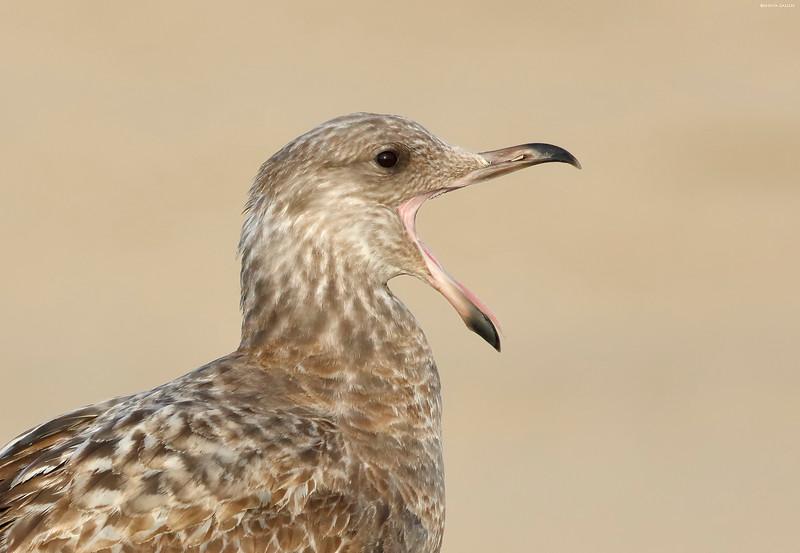 Herring Gull yawn
