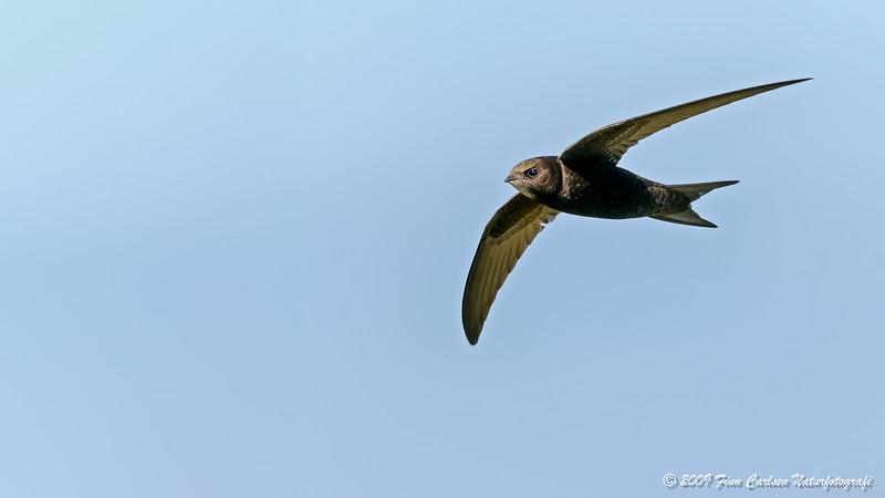 Mursejler (Apus apus - Common Swift)
