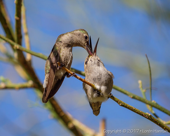 April 2017 Henderson Bird Preserve - Henderson, NV